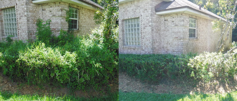 vines and weeds in hedges