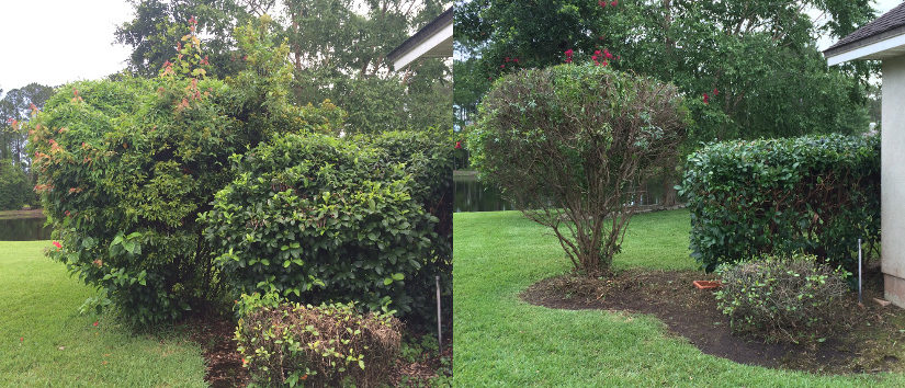 clean up overgrown vines hedges